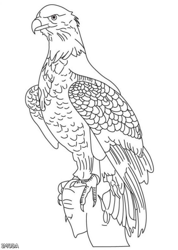 free bald eagle color page 7 coloring pages